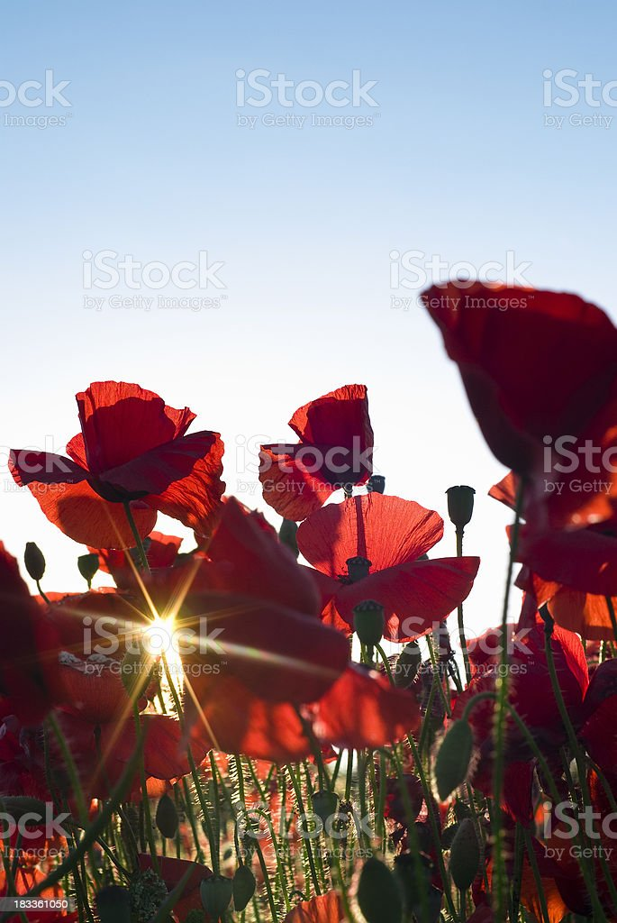 Summer poppy field royalty-free stock photo