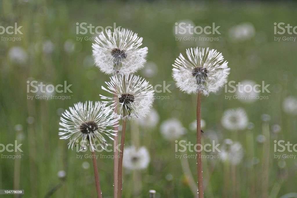 Summer quartet - 4 dandelions with balls of seed royalty-free stock photo