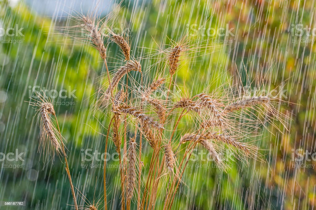 Summer rain and wheat spikelets. stock photo