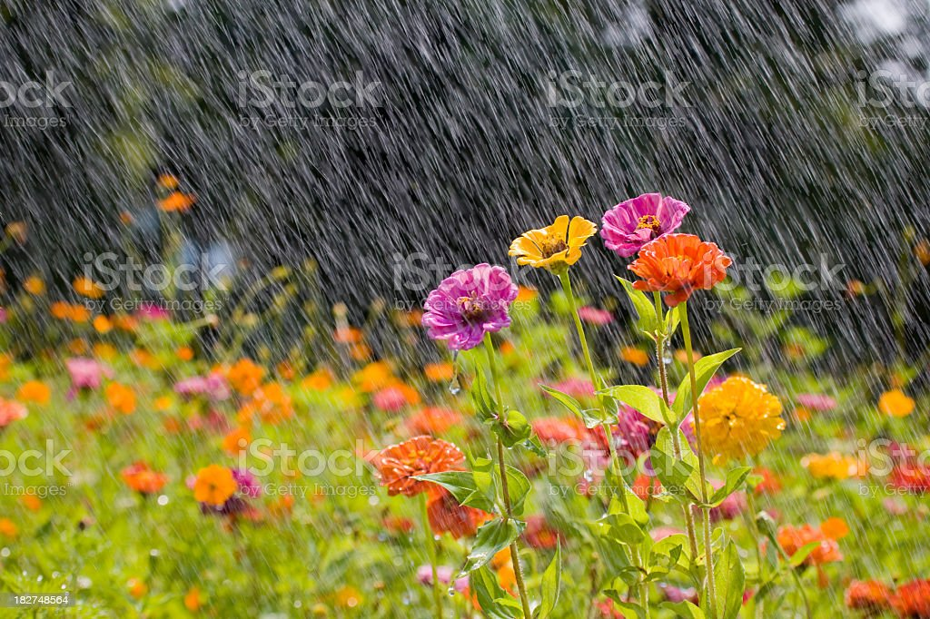 Summer rain in a field of colorful flowers stock photo