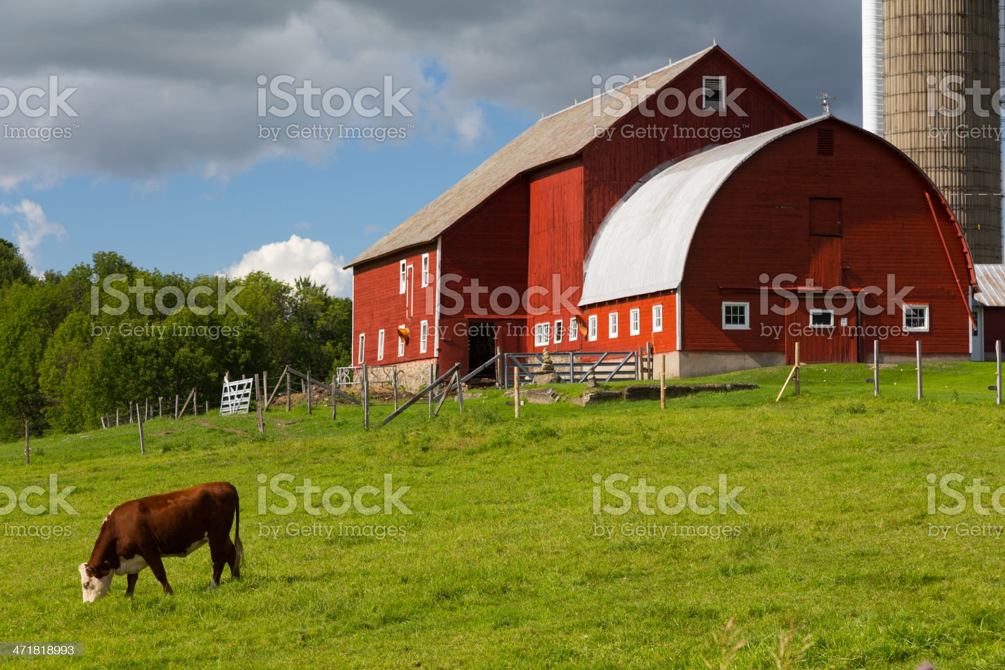 Summer Red Barn and Grazing Cow royalty-free stock photo