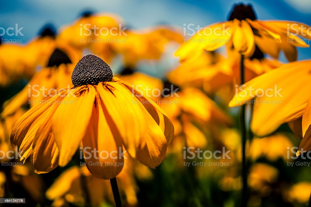 summer rudbeckias stock photo