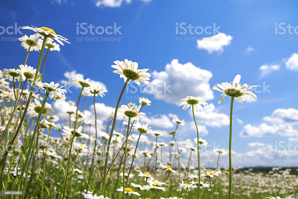 summer rural landscape with a blossoming meadow stock photo