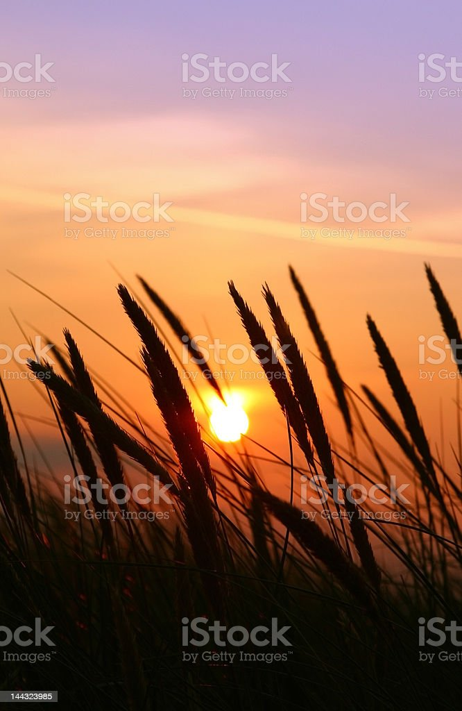 summer rushes royalty-free stock photo