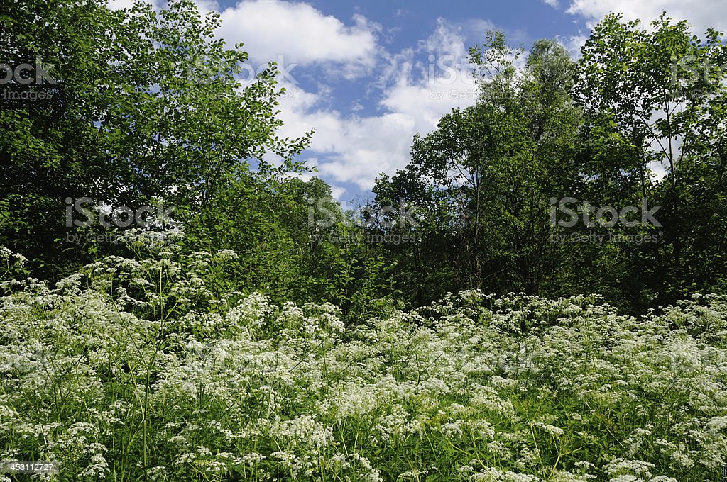 Summer scene with blooming ground elder royalty-free stock photo