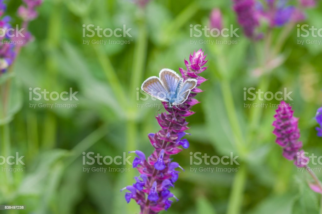 Summer scene with sage flower and Common Blue butterfly sucking nectar stock photo
