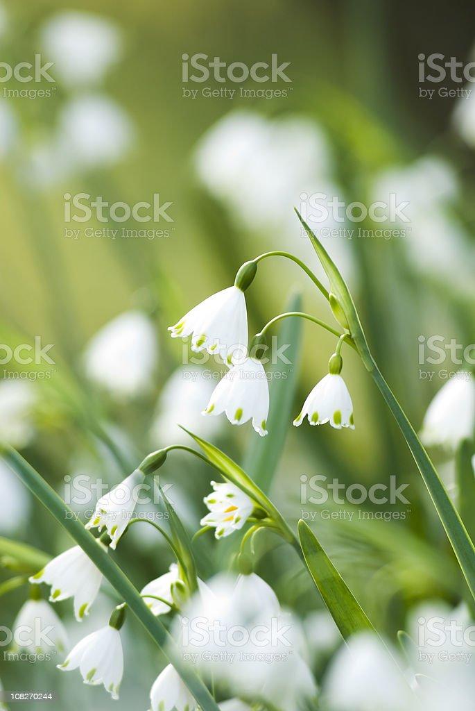 Summer Snowflake flowers - I royalty-free stock photo