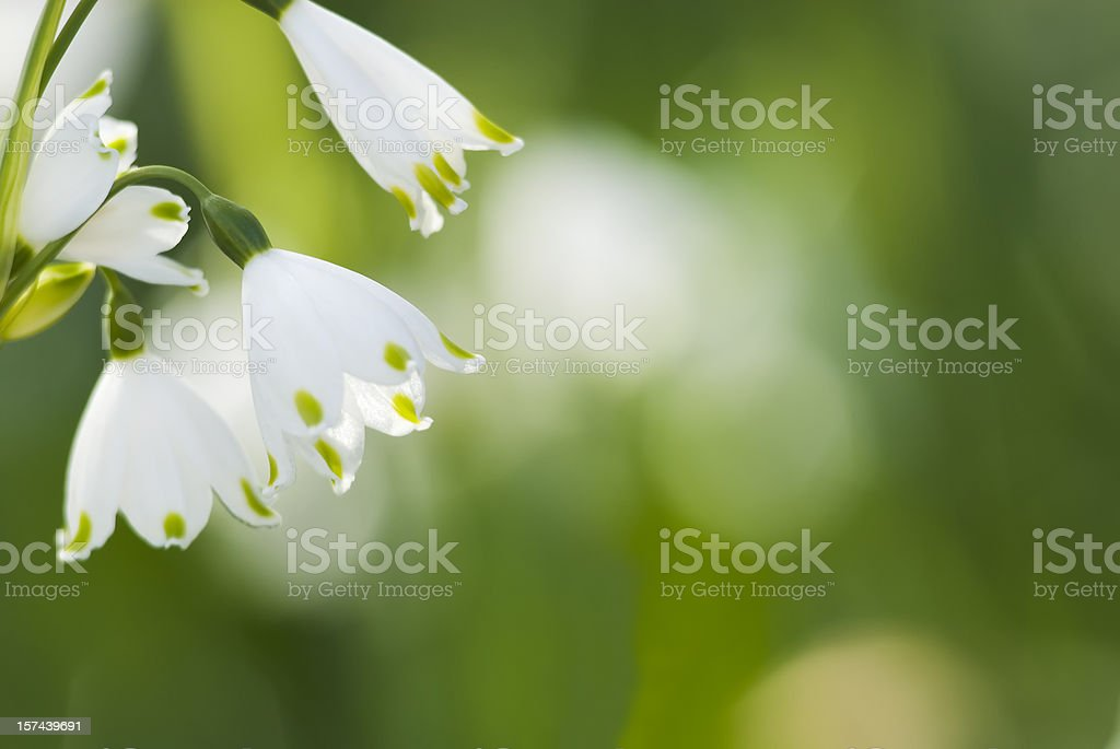 Summer Snowflake flowers - VI stock photo