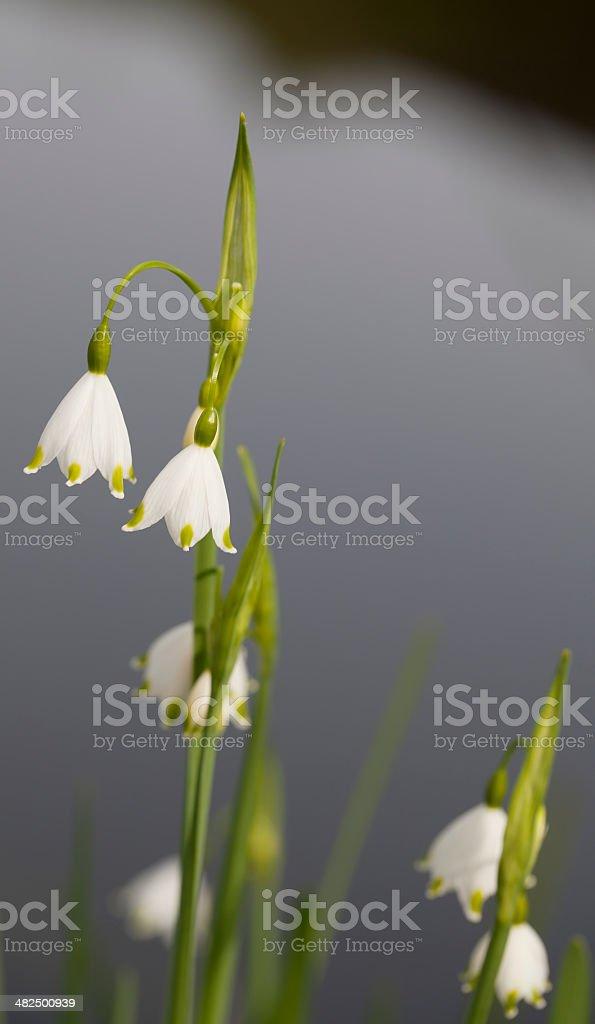 Summer Snowflake (Leucojum aestivum) royalty-free stock photo
