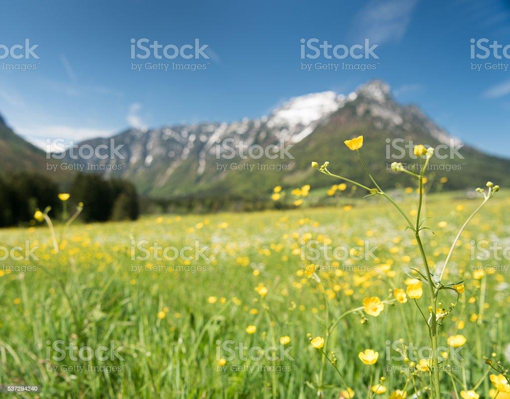 Summer Spring Meadow, Austrian Alps stock photo