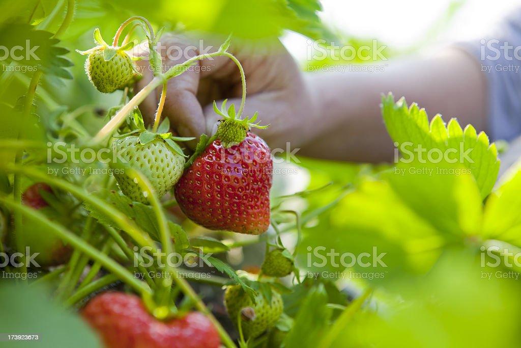 Summer Strawberry Picking stock photo