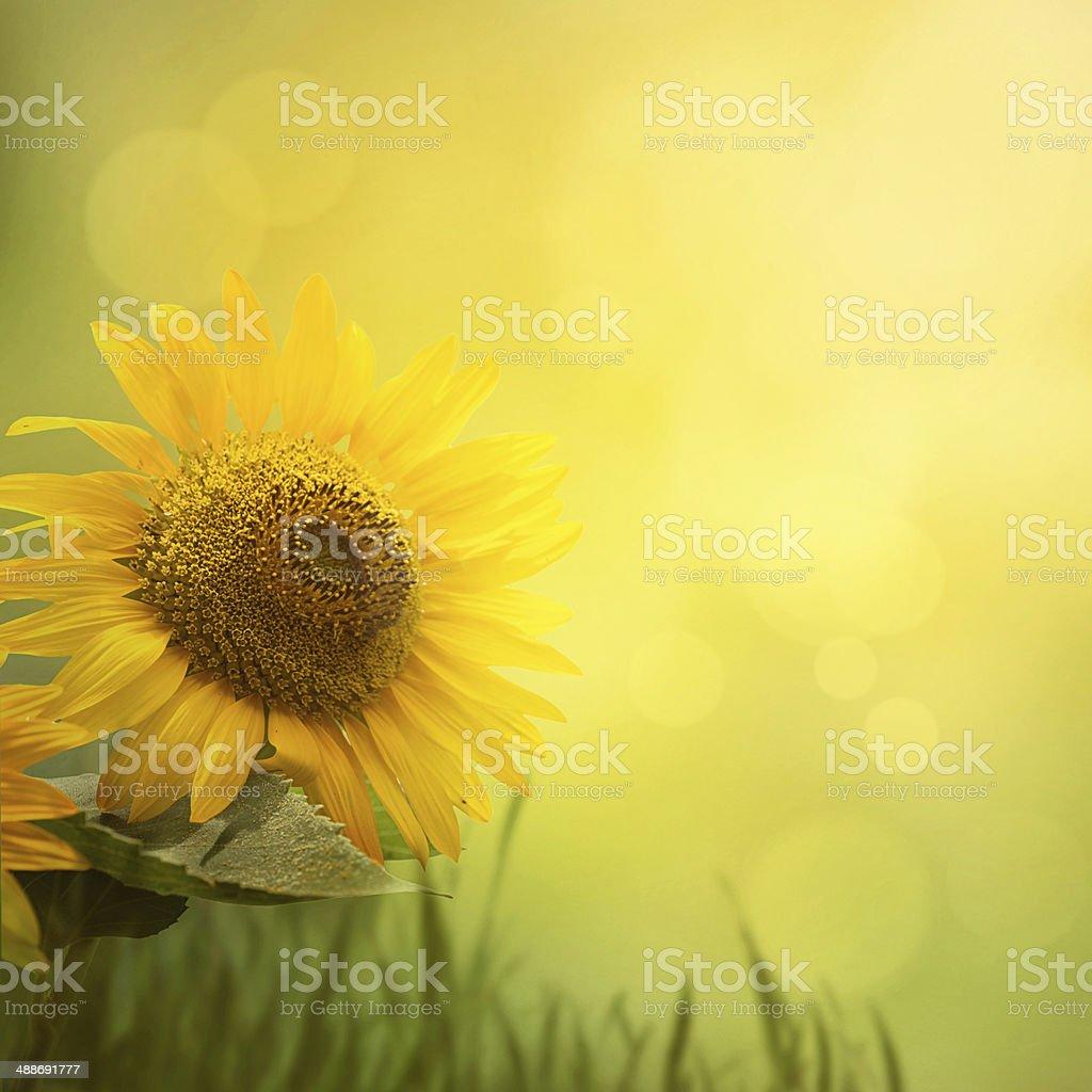 Summer sunflower background stock photo