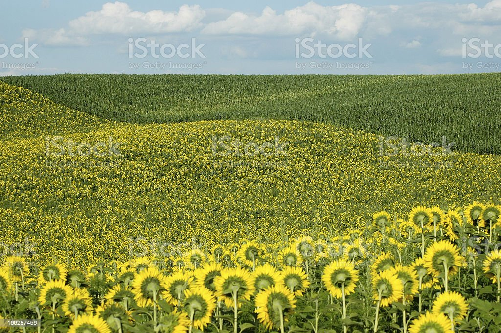 Summer sunflower field and cloudy sky royalty-free stock photo