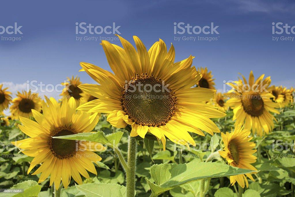 Summer Sunflower stock photo