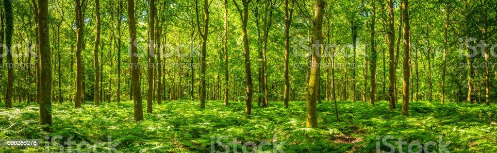 Summer sunlight warming green forest fern foliage idyllic clearing panorama stock photo