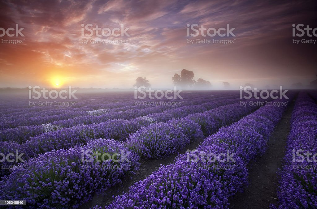 Summer sunrise over a field of lavender. stock photo