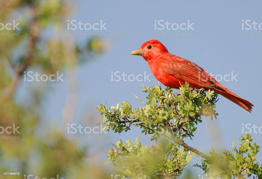 Summer Tanager stock photo