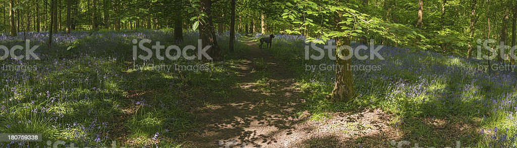 Summer trail through idyllic sunlit forest bluebells panorama royalty-free stock photo