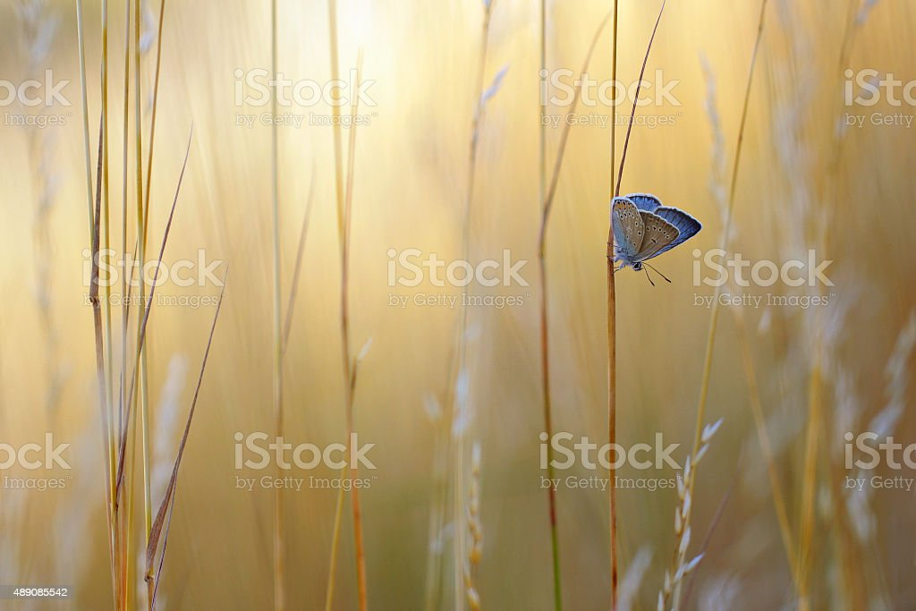 Summer view with Common Blue Butterfly stock photo