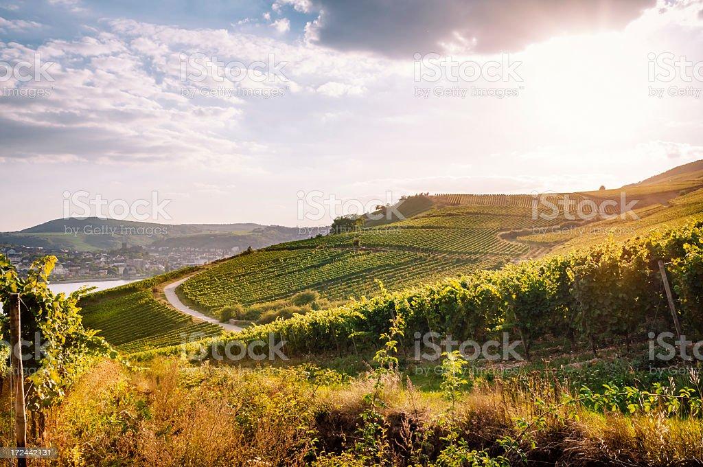 Summer vineyard royalty-free stock photo