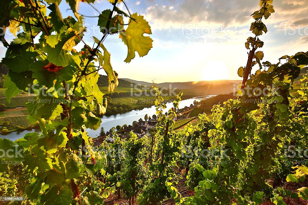 summer vineyards at mosel valley in germany stock photo