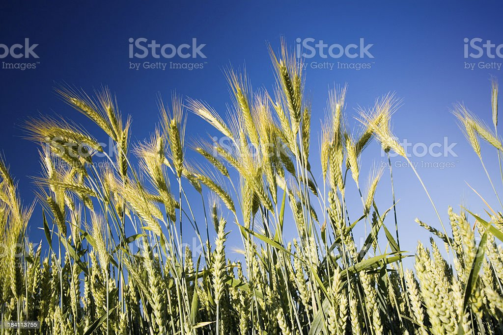 Summer Wheat Crops royalty-free stock photo