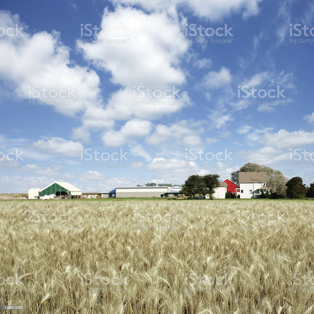 XXXL summer wheat farm royalty-free stock photo