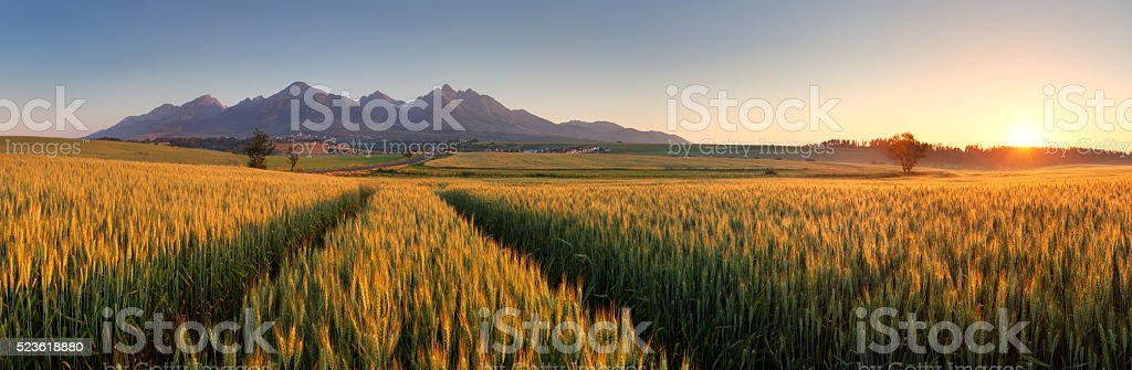 Summer wheat field in Slovakia, Tatras. stock photo