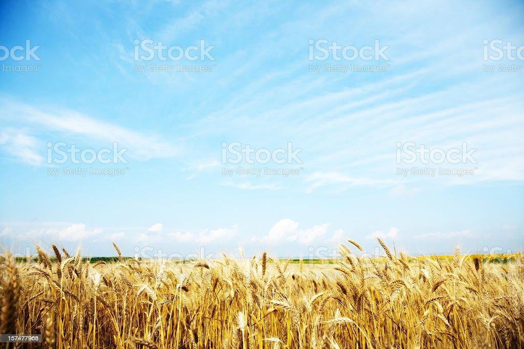 Summer wheat field royalty-free stock photo