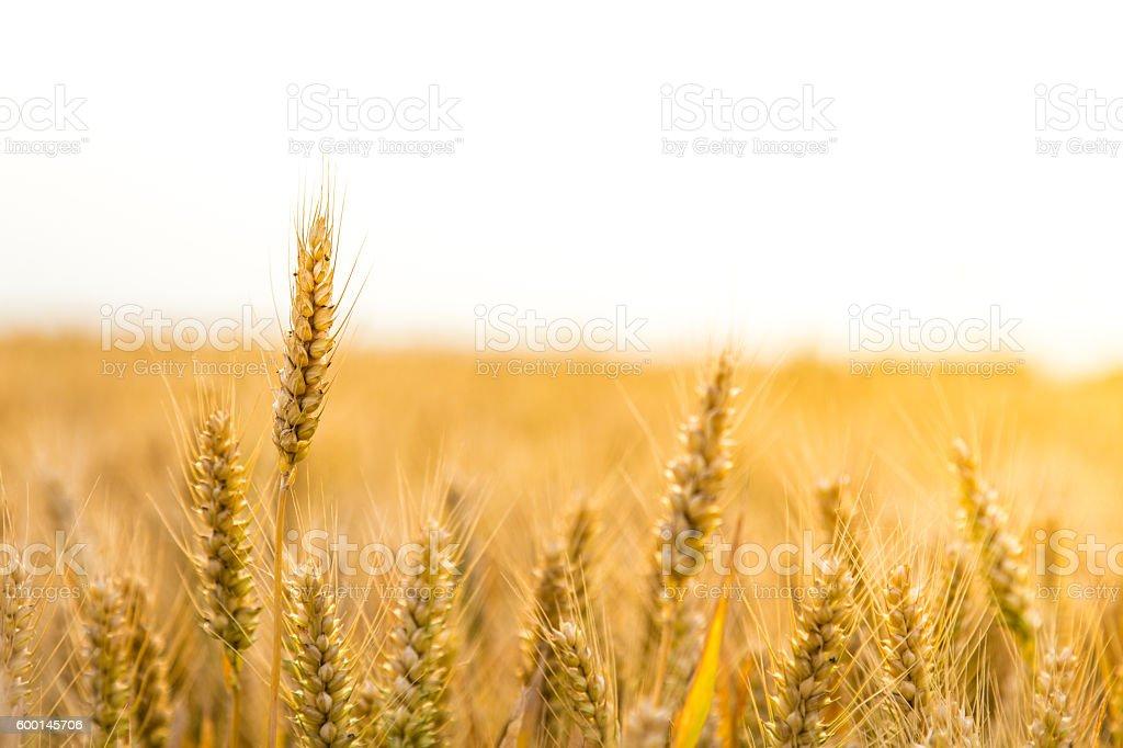 Summer wheat field stock photo