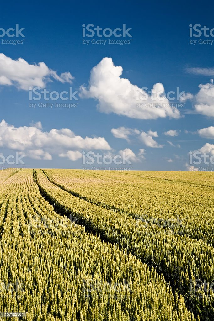 Summer Wheat Landscape royalty-free stock photo