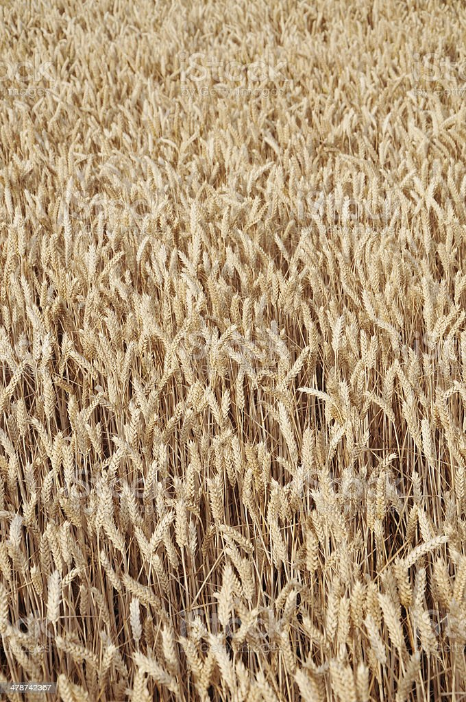 Summer Wheat royalty-free stock photo