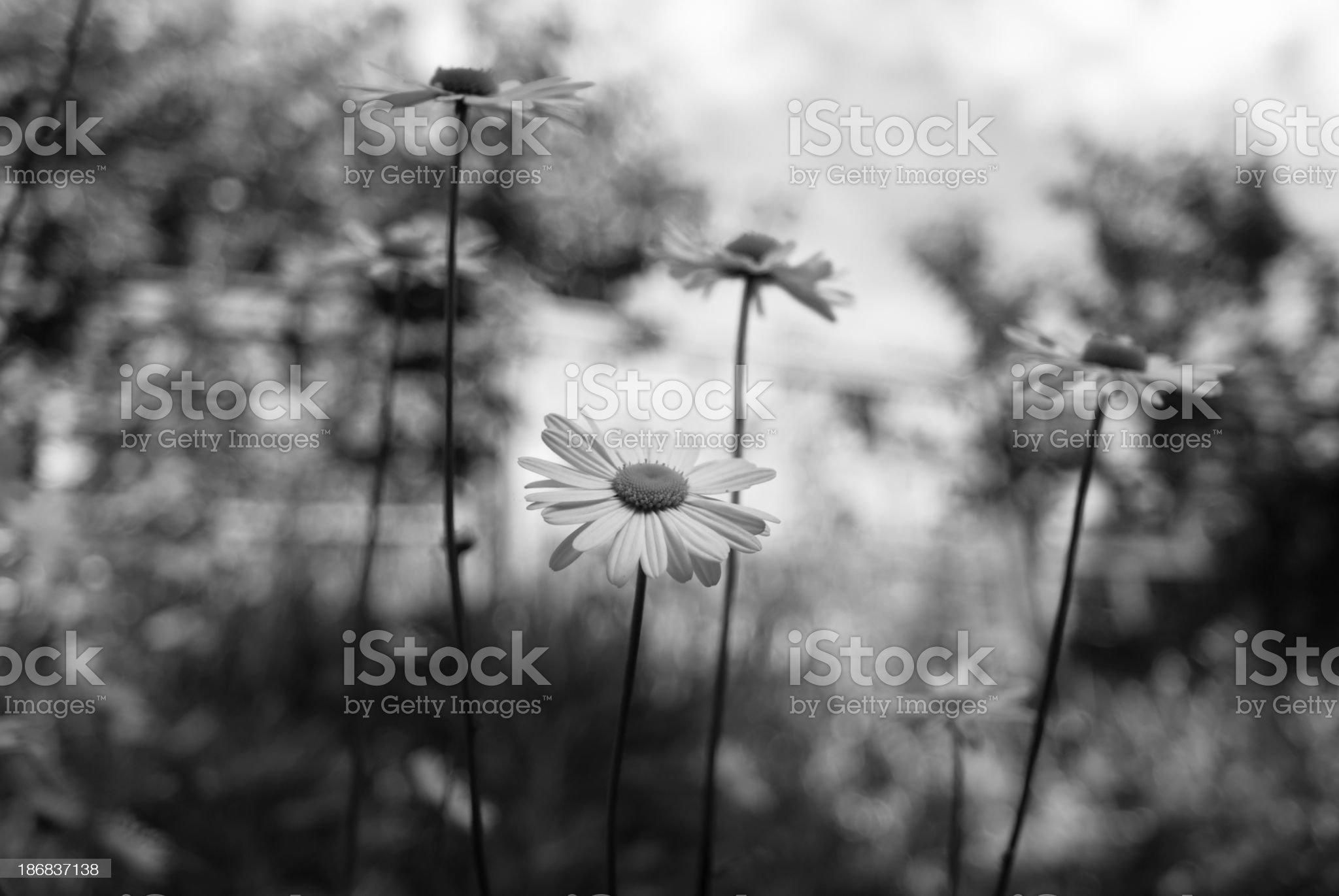 Summer Wildflowers B&W royalty-free stock photo