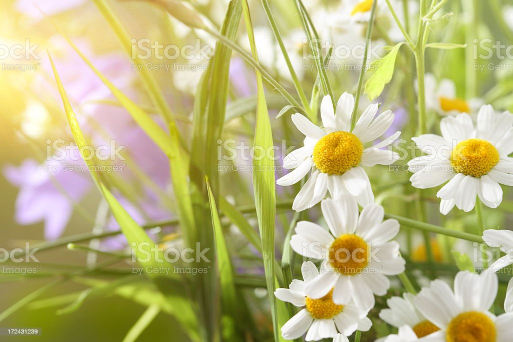 Summer Wildflowers royalty-free stock photo