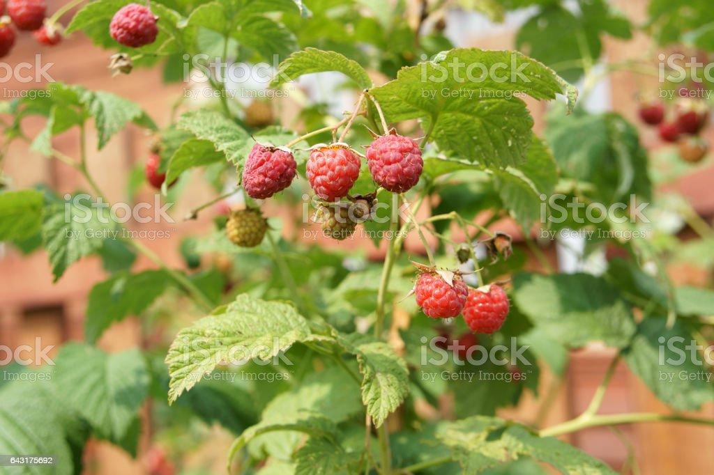 Summer's first raspberries stock photo