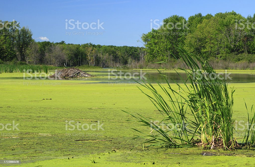 summertime beaver pond royalty-free stock photo