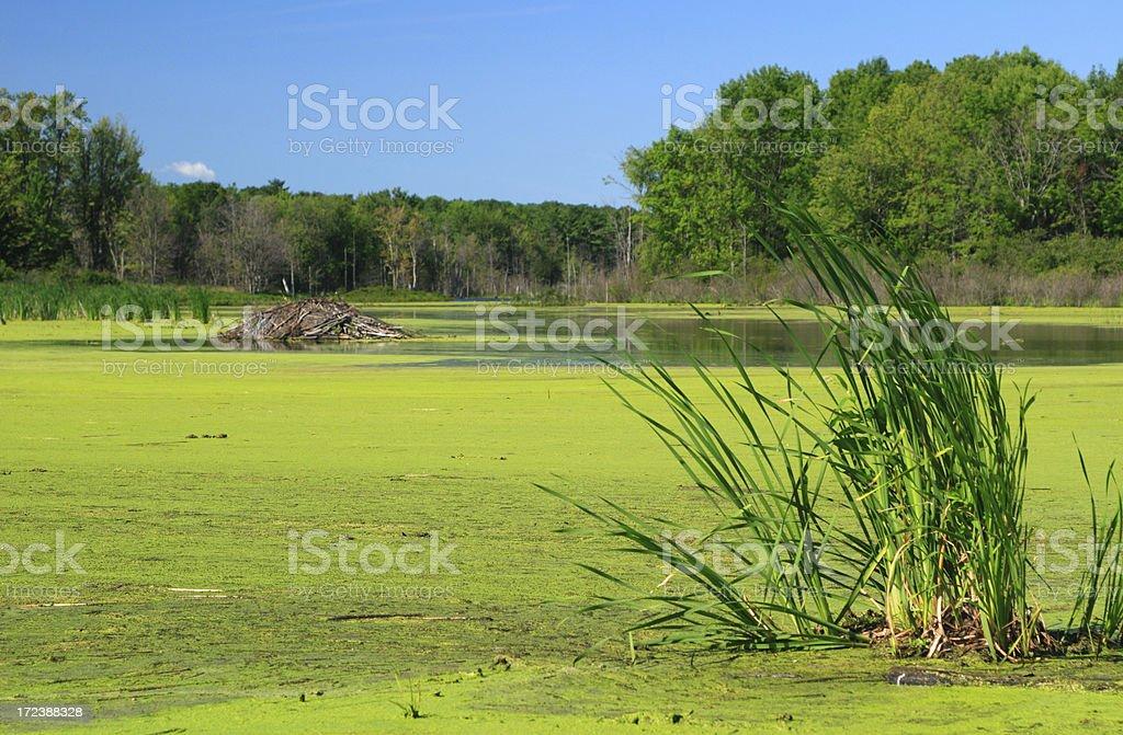 summertime beaver pond stock photo