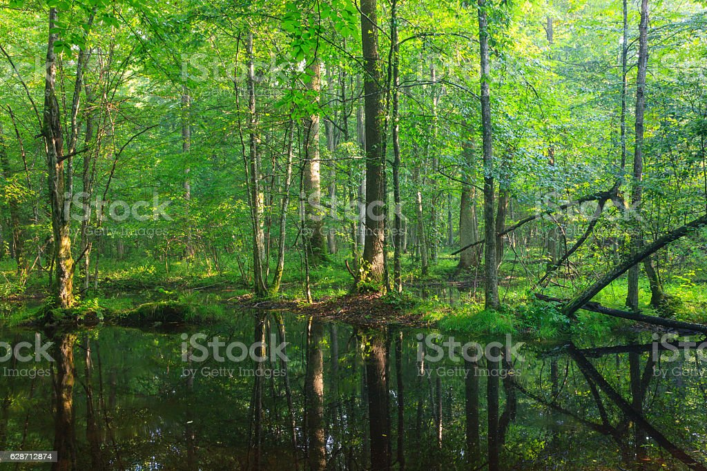 Summertime  broadleaved stand with standing water stock photo