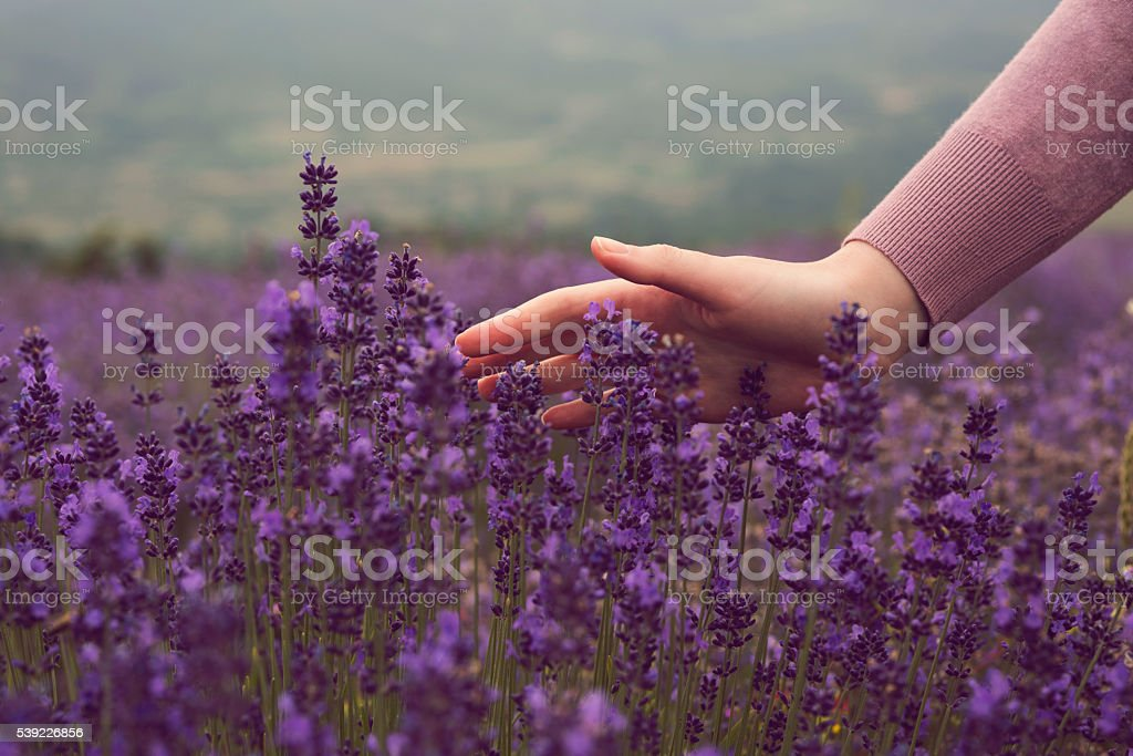 Summertime in a lavender field stock photo