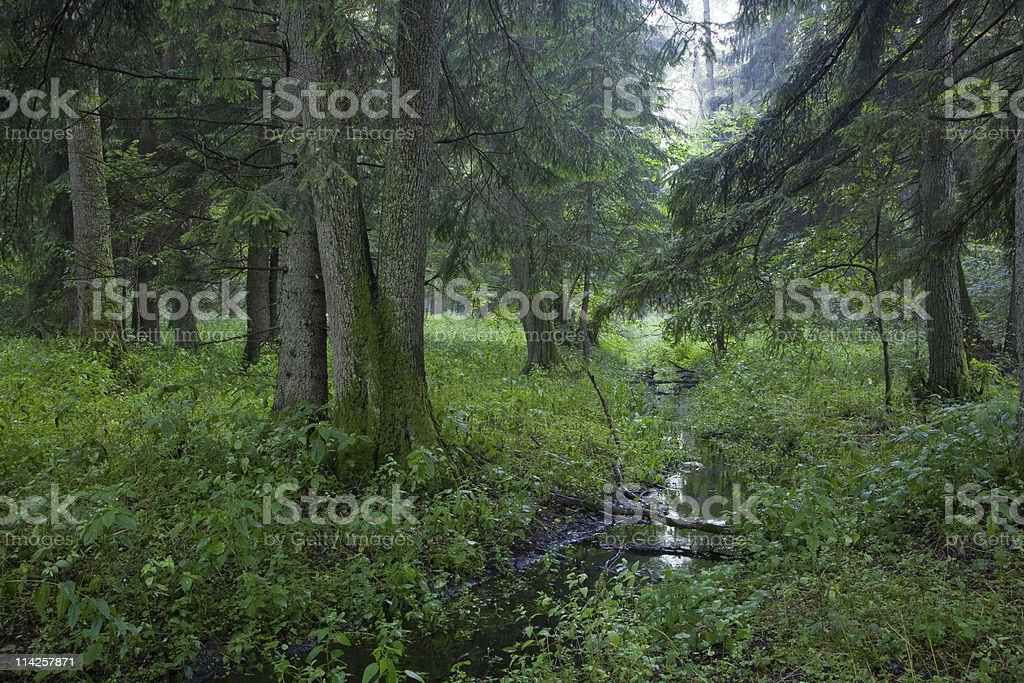 Summertime look of deciduous stand with little stream stock photo