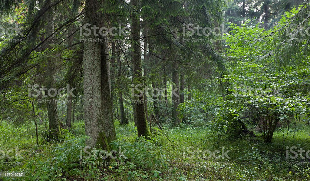 Summertime look of natural alder-carr stand stock photo