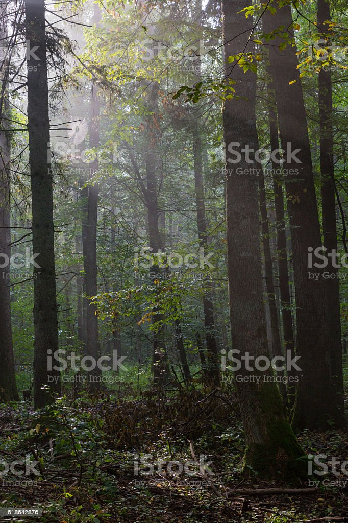 Summertime misty morning in forest stock photo