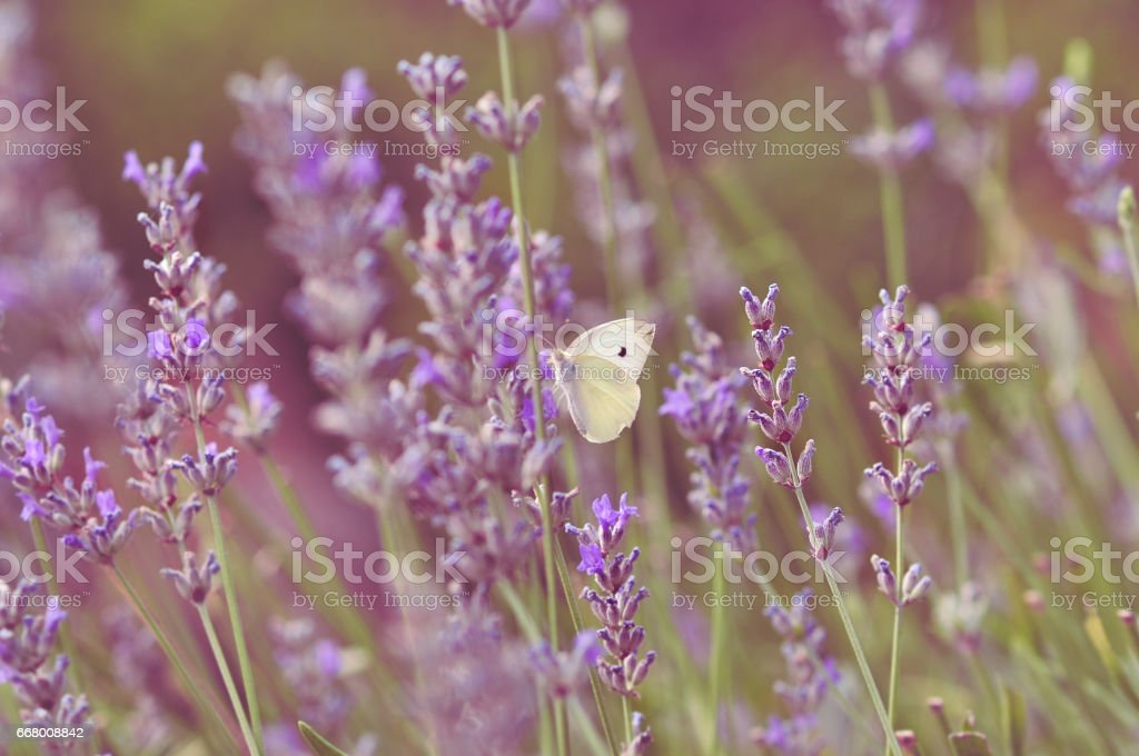 Summertime on a lavender field stock photo