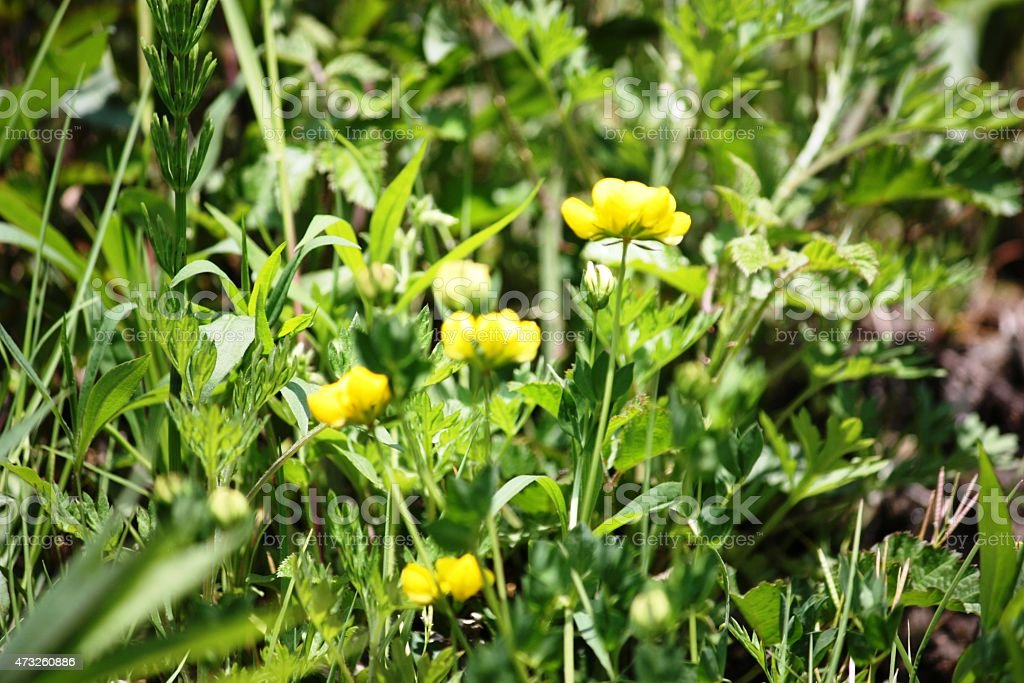 Sumpfdotterblume buttercup on the grass in spring stock photo