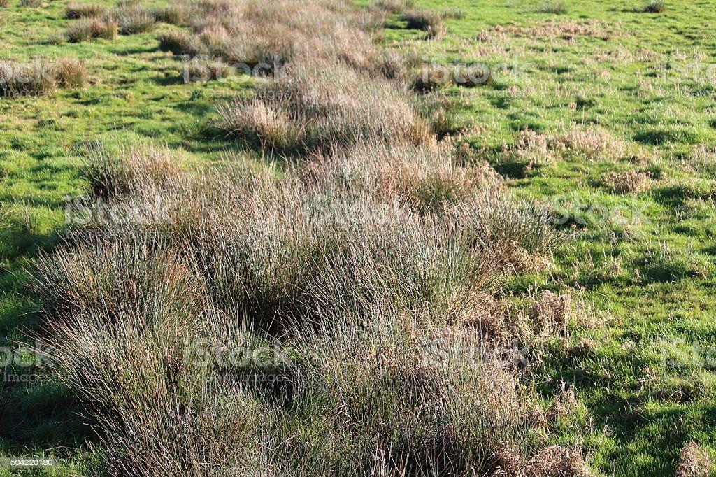 Sumpfgräser auf feuchter Wiese stock photo