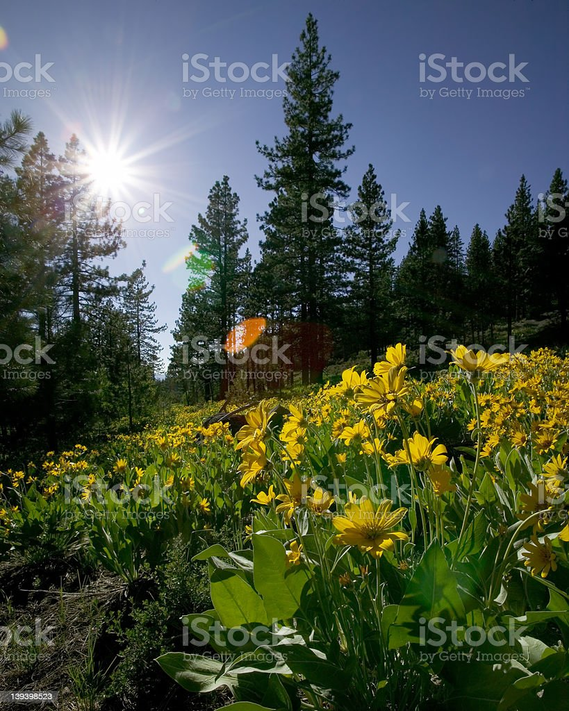 Sun and Mules Ear royalty-free stock photo