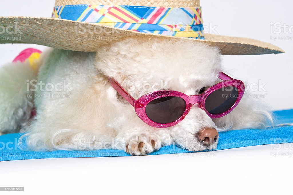 Sun Bathing Star Poodle royalty-free stock photo