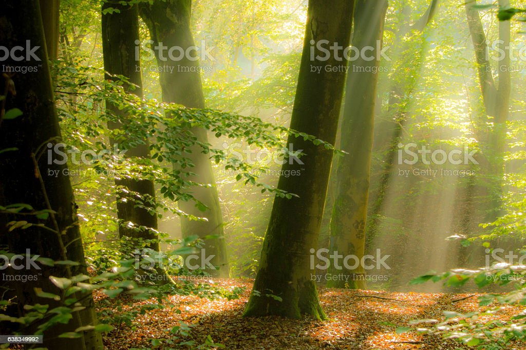 Sun beams in a forest stock photo