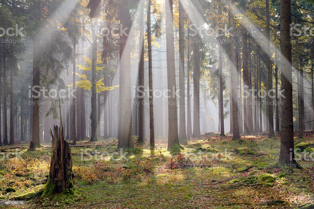 sun beams in the forest stock photo