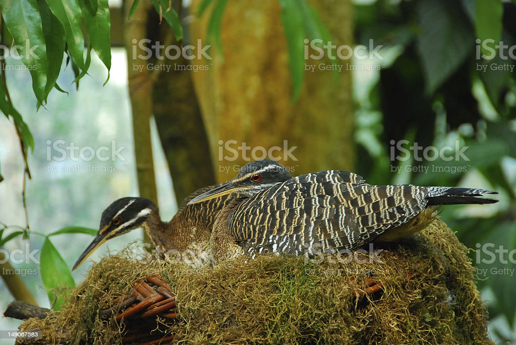 Sun Bittern build open nests high up in a trees, in the wet season.